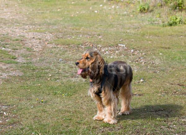 English Cocker Spaniel Puppy  Stock photo © suerob