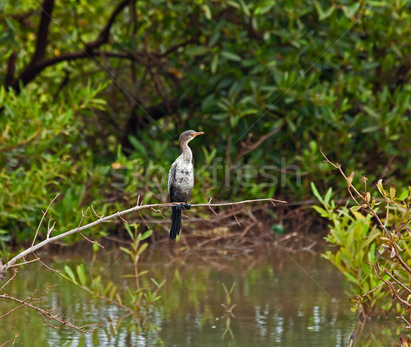 Immature branche au-dessus nature oiseau rouge Photo stock © suerob