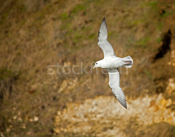 Northern Fulmar Stock photo © suerob