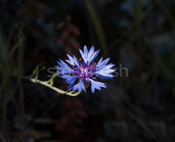 Cornflower Against Dark Background Stock photo © suerob