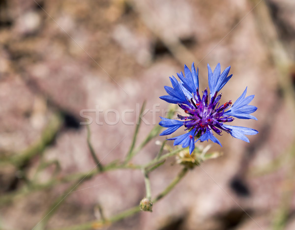 Stock photo: Cornflower Against Light Background with Copy Space