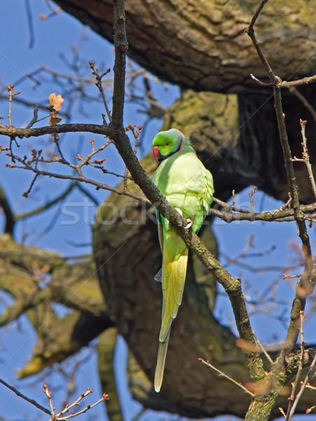 Ağaç Londra park kuş yeşil Afrika Stok fotoğraf © suerob