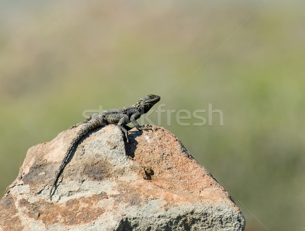 Starred Agama Lizard Stock photo © suerob
