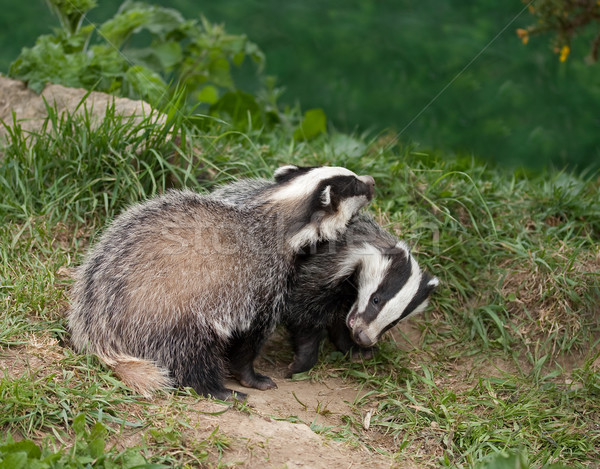 Badger Cubs playing Stock photo © suerob