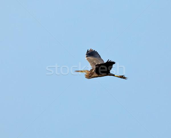 Fioletowy czapla lotu niedojrzały Gambia zachód Zdjęcia stock © suerob