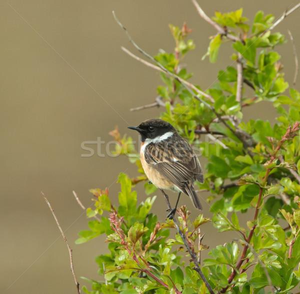 Stonechat on Hawthorn Stock photo © suerob