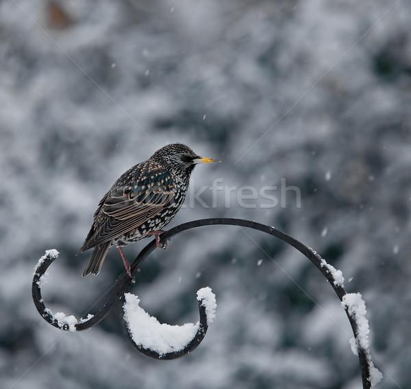 Hó európai tél tollazat madár szárnyak Stock fotó © suerob