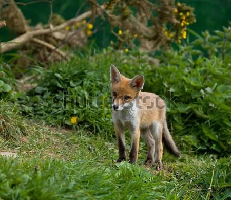 Fox Cub sitting Stock photo © suerob