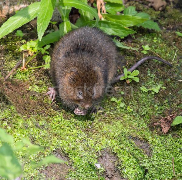 Víz folyópart eszik természet barna vadvilág Stock fotó © suerob
