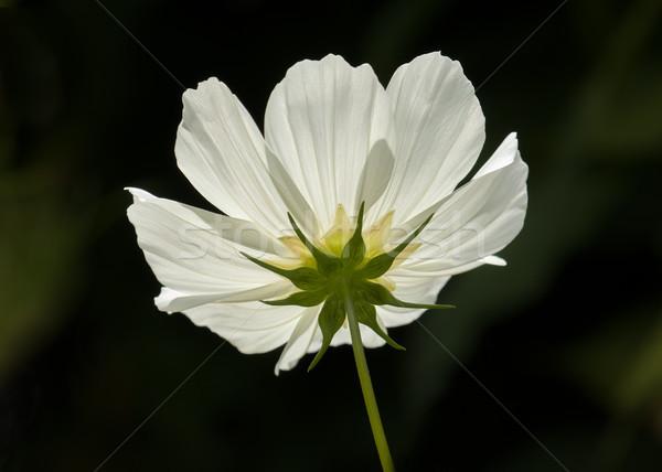 Blanche fleur Photo stock © suerob