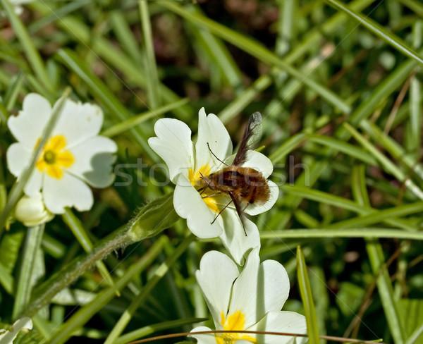 Abelha voar prímula flor natureza Foto stock © suerob