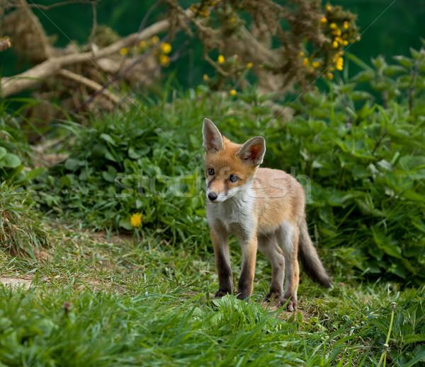 Red Fox cub Stock photo © suerob