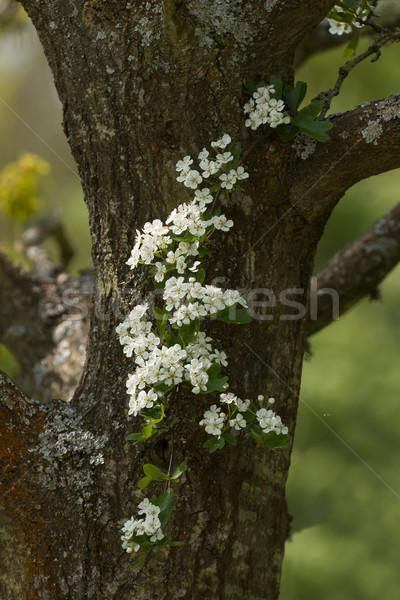 çiçek bahar çiçekli çiçek doğa Stok fotoğraf © suerob