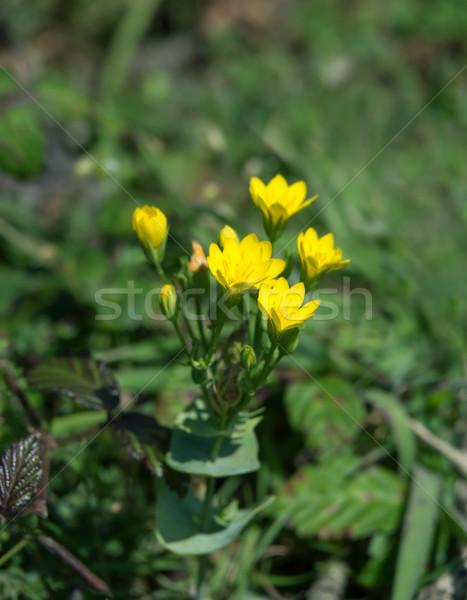 Flor silvestre costa marea flor naturaleza verde Foto stock © suerob