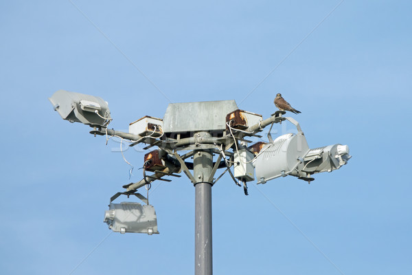 Common Kestrel on Floodlights Stock photo © suerob