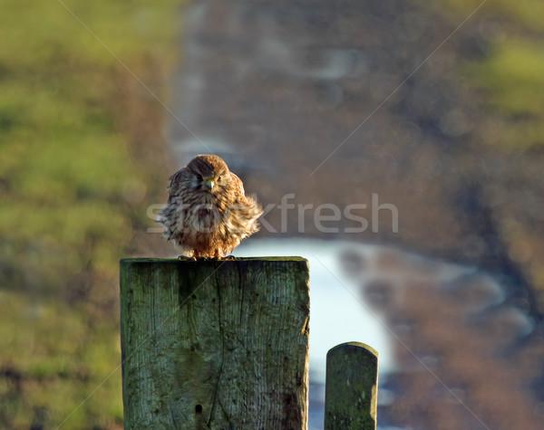 Kestrel in Winter Stock photo © suerob
