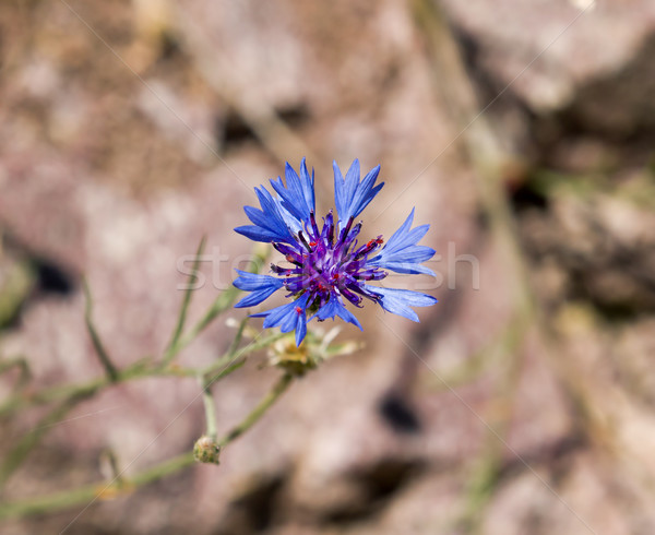 Stock photo: Cornflower Against Light Background