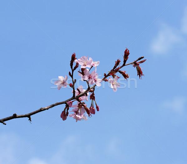 Spring Blossom Stock photo © suerob