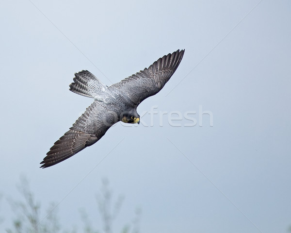 Peregrine Falcon Stock photo © suerob