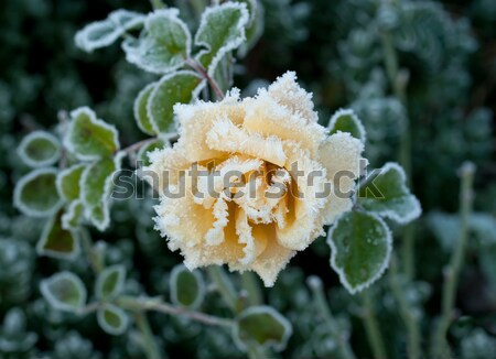 Rose and Frost Stock photo © suerob