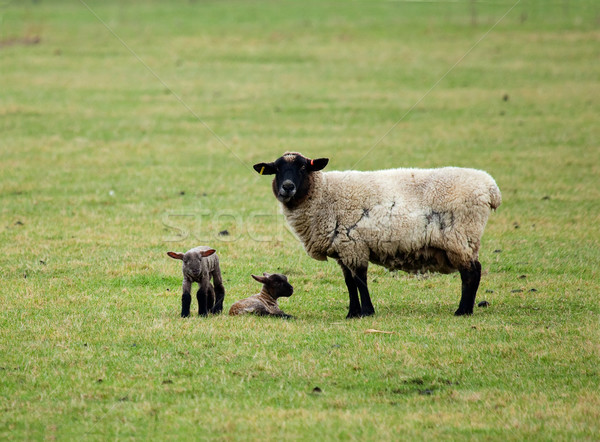 Stock photo: Sheep and twin lambs