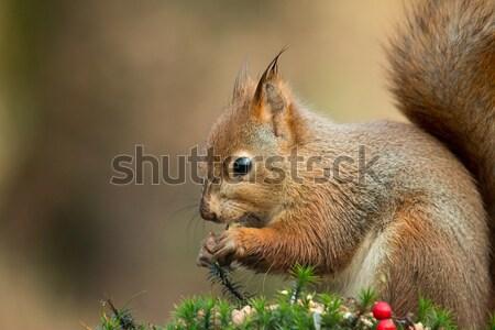 Rojo ardilla mojado orejas comer tuerca Foto stock © suerob