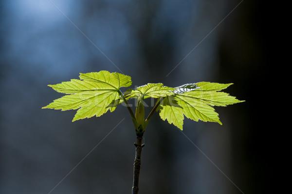Laisse nouvelle croissance printemps forêt fraîches Photo stock © suerob