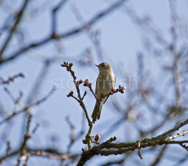 Faible oiseau arbre faune sauvage campagne Photo stock © suerob