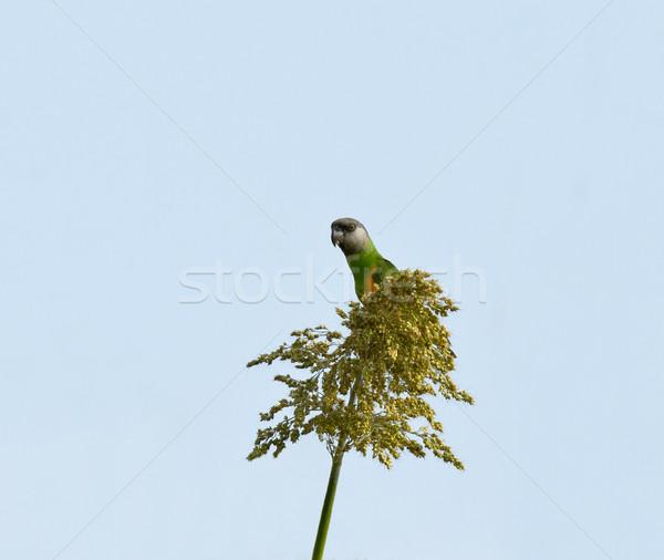 Senegal Parrot Stock photo © suerob