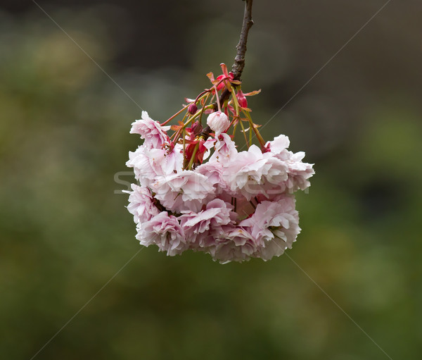 Pink Blossom Stock photo © suerob