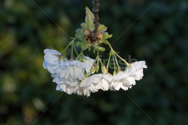 Blanche fleur printemps arbre pétales lumière du soleil Photo stock © suerob