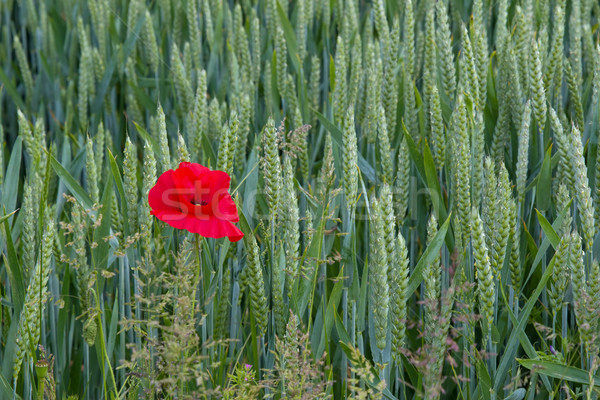 Poppy in Wheat Field Left Stock photo © suerob