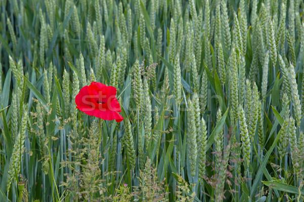 Pavot croissant sussex Angleterre Photo stock © suerob