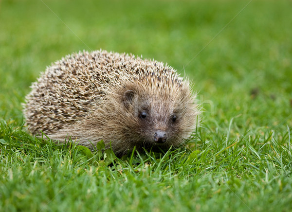 Hedgehog Stock photo © suerob