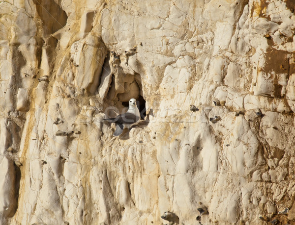 Northern Fulmar on Cliff Stock photo © suerob