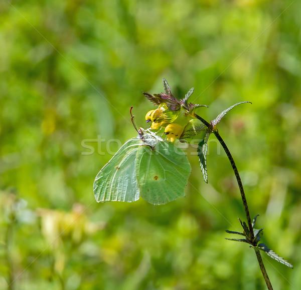 Brimstone Butterfly Stock photo © suerob
