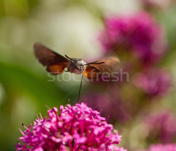 Kolibri természet nyár szárnyak rovar homály Stock fotó © suerob