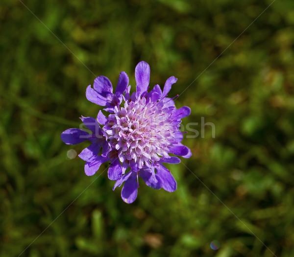 Bit lila vadvirág részlet zöld virág Stock fotó © suerob