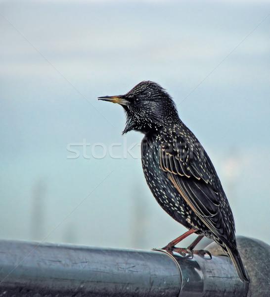 Avrupa kuş kış Alarm yaban hayatı Stok fotoğraf © suerob