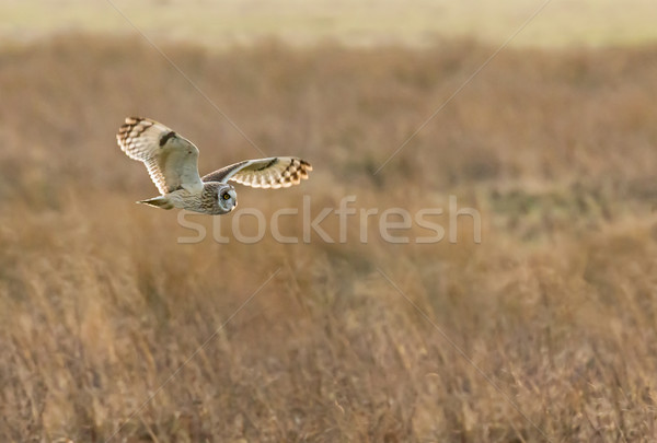 Short-eared Owl Hunting Stock photo © suerob