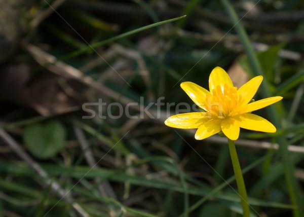 Espace de copie jaune fleur anglais campagne espace Photo stock © suerob