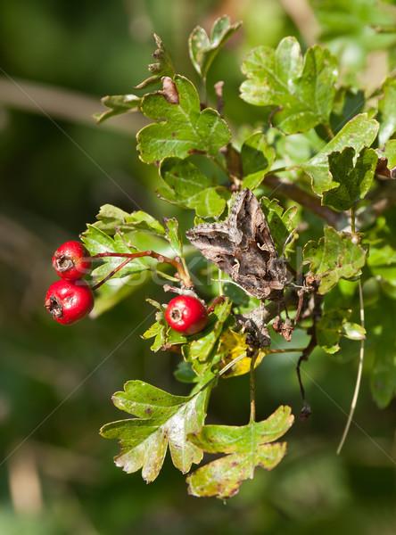 Silver Y Moth on Hawthorn Stock photo © suerob
