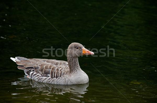 Oie adulte lac réflexion eau Angleterre Photo stock © suerob