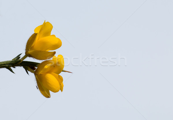 Yellow Gorse Flowers with Sky and Copy Space Stock photo © suerob