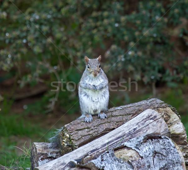 Grey Squirrel upright Stock photo © suerob
