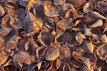Beech Leaves and Frost Stock photo © suerob