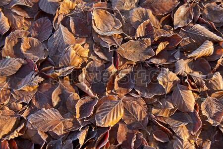 Yaprakları don güneş ışığı altın Stok fotoğraf © suerob