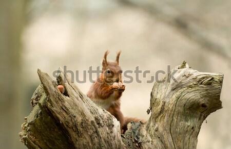 Red Squirrel with Hazelnut Stock photo © suerob