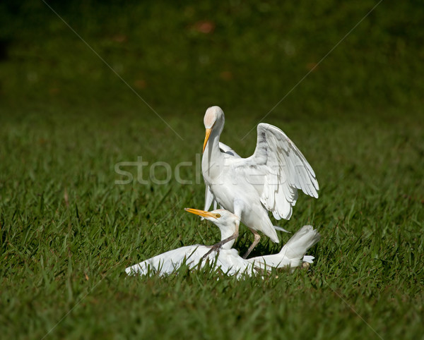 Cattle Egrets Fighting Stock photo © suerob