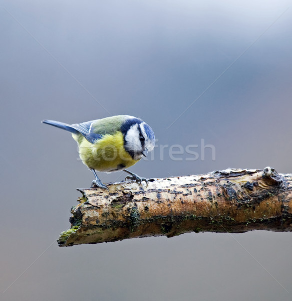Bleu tit branche adulte faible oiseau Photo stock © suerob